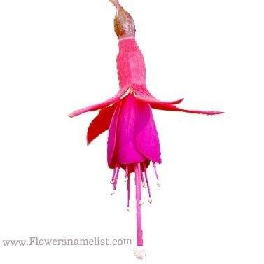 fuschia pink flower