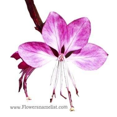 gaura pink flower