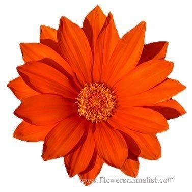gazania bright orange