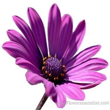 gazania purple