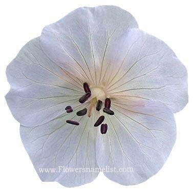 geranium pratense silver queen