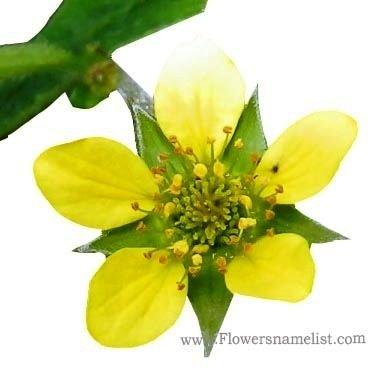 geum urbanum flower