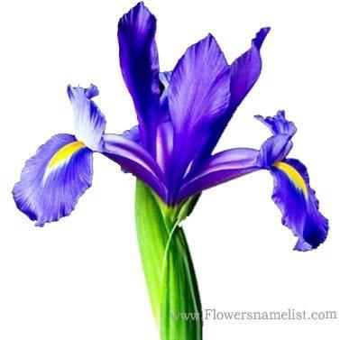 gladioli blue