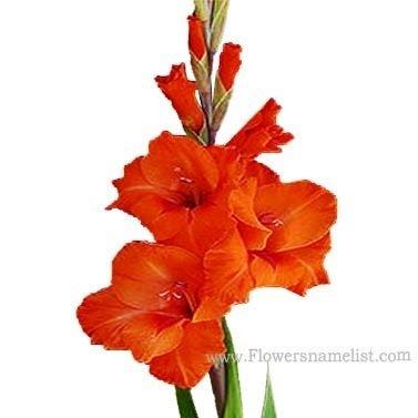 gladiolus orange