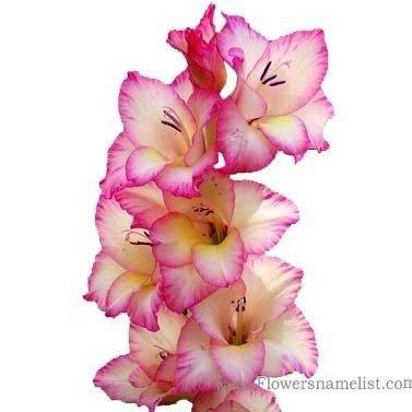 F Name Flowers Gladiolus Pink