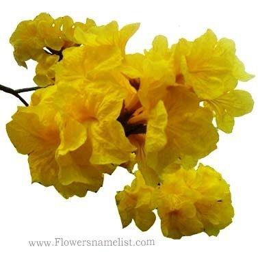 golden rain tree flower