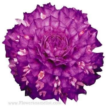 gomphrena globosa buddy purple