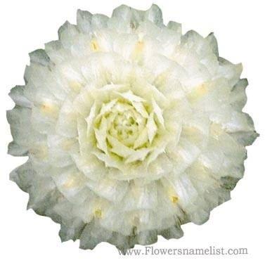 gomphrena globosa buddy white