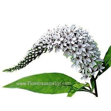 gooseneck white