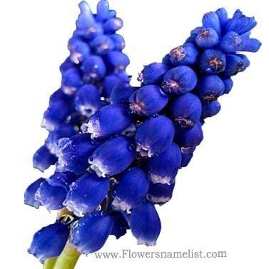 grape hyacinth macro blue