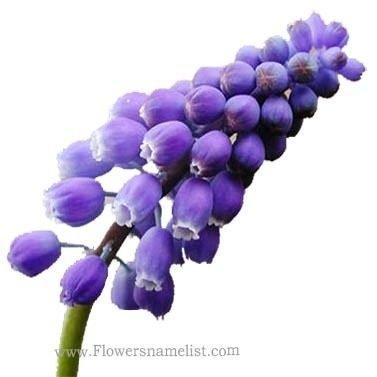 grape hyacinth purple