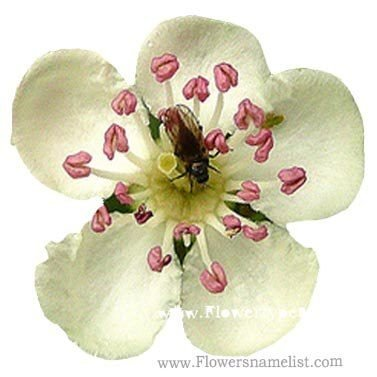 H name flower types flowers name list hawthorn white hawthorn yellow mightylinksfo