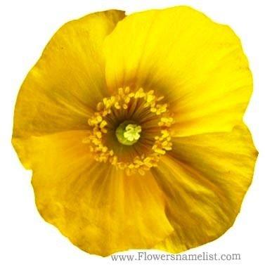 hawthorn yellow