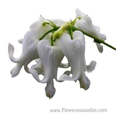 heart Dicentra spectabilis white