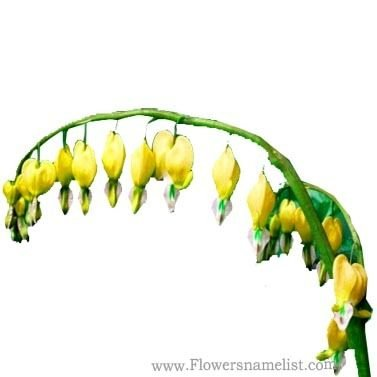 heart Dicentra spectabilis yellow