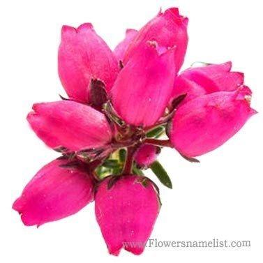 heather pink flower