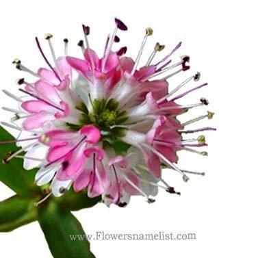 hebe delicate flower