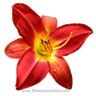 hemerocallis ollalie red