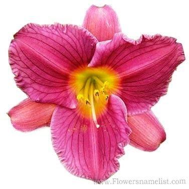 hemerocallis purple doro