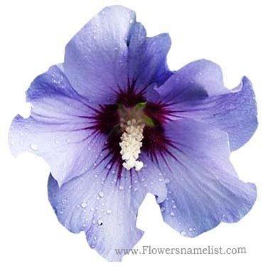 hibiscus blue satin