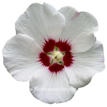 hibiscus syriacus rose of sharon