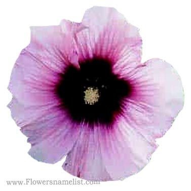 hollyhock halo candy perennial flowers