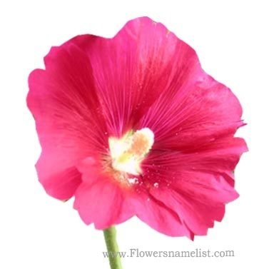 hollyhock red