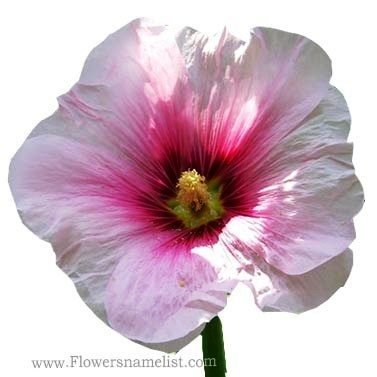 hollyhock white and red flower