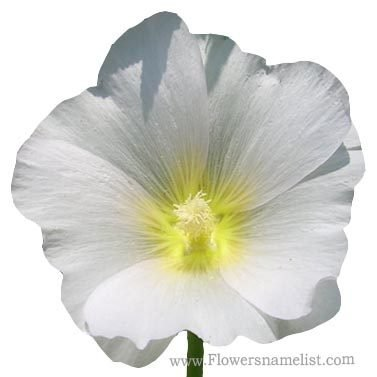 hollyhock white and yellow