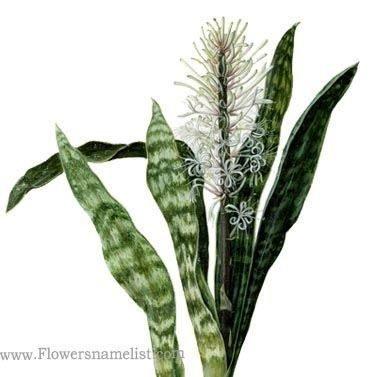 hyacinthoides sansevieria