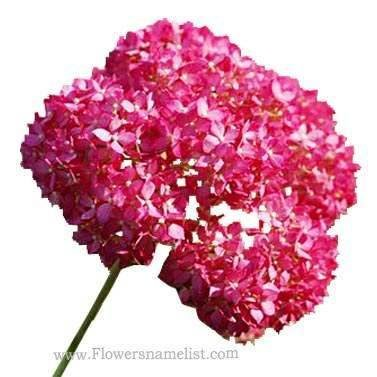 hydrangea arborescens pink