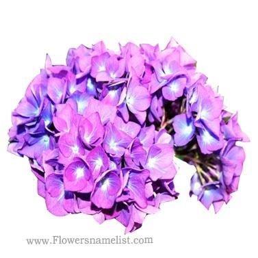 hydrangea cut purple