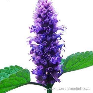 hyssop blue anis flower
