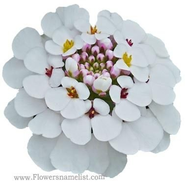 iberis masterpiece Candytuft