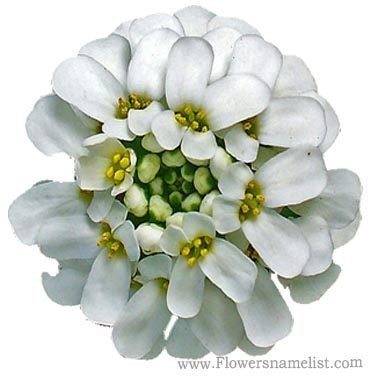 iberis sempervirens Candytuft