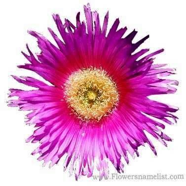 ice plant carpobrotus