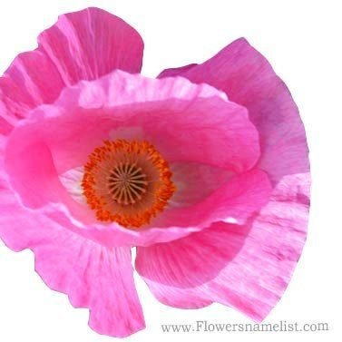 iceland Poppy pink