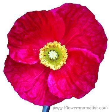 iceland poppy red