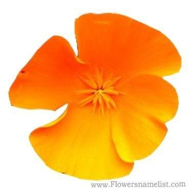 icelandic poppy orange