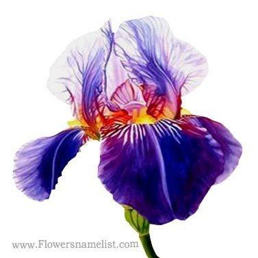 iris blue flowers