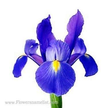 iris dark blue flowers