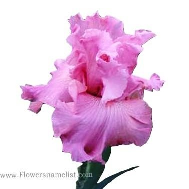 iris flower pink