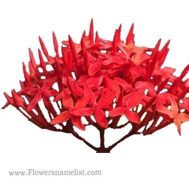 ixora red flower