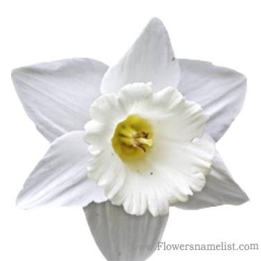 jonquil white with white corona