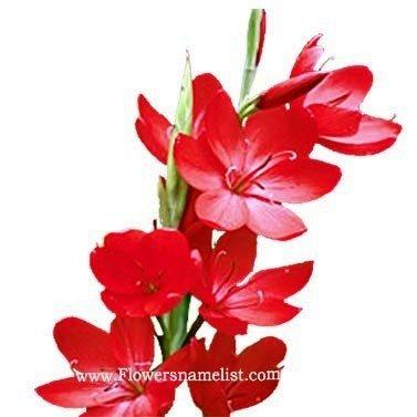 kaffir lily major