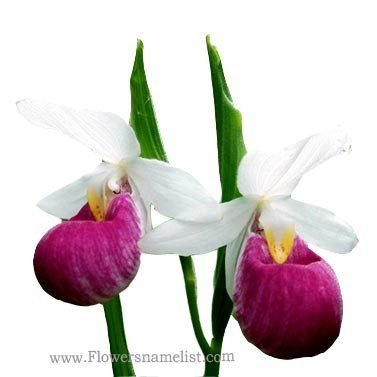 lady's slipper pink and white