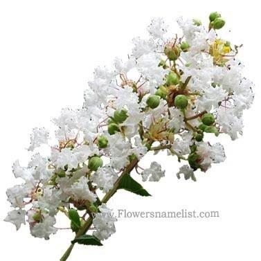 lagerstroemia indica flower white