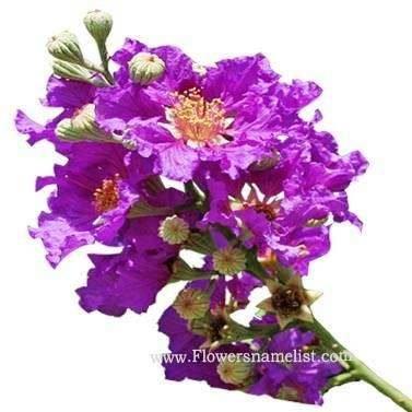 lagerstroemia speciosa purple