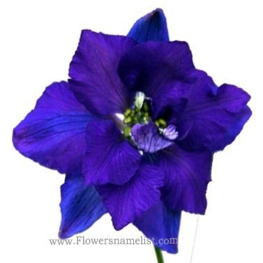 larkspur blue