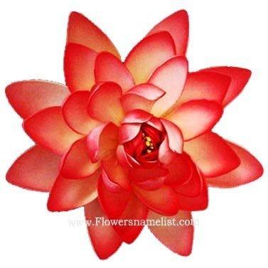 lotus red orange flower